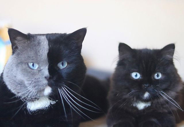 Cat with Bicolor Face Fathers Kittens of Each Color 3 Cat with Bicolor Face Fathers Kittens of Each Color