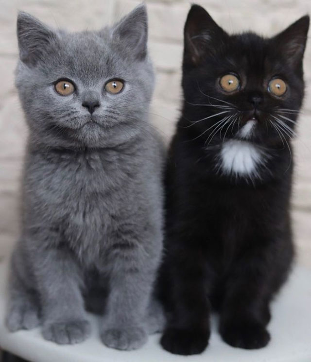 Cat with Bicolor Face Fathers Kittens of Each Color 6 Cat with Bicolor Face Fathers Kittens of Each Color