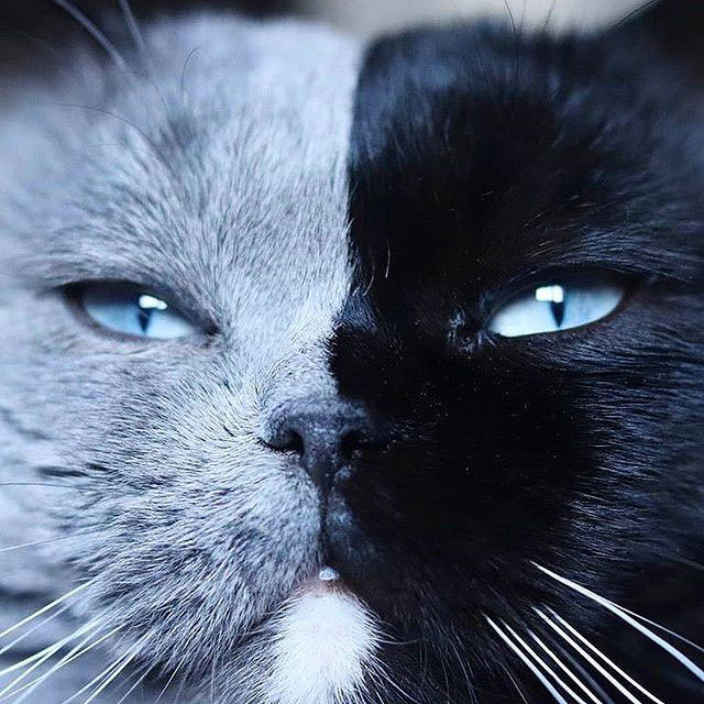 Cat with Bicolor Face Fathers Kittens of Each Color 4 Cat with Bicolor Face Fathers Kittens of Each Color